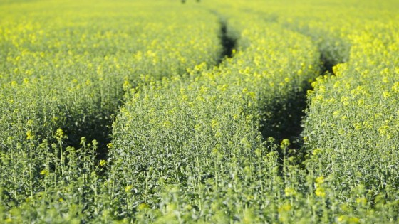 Spring Oilseed Rape