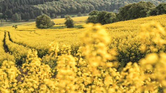 Oilseed-Rape-Winter