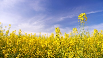 oilseed rape plant