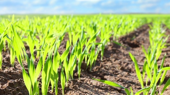 spring wheat, crop protection,