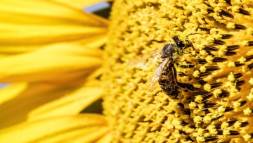 Honeybees & Agriculture
