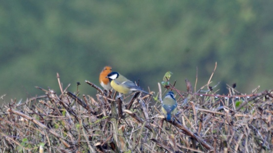 birds on hedge